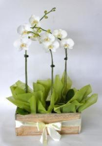 Phalaenopsis orchid plants in wooden box